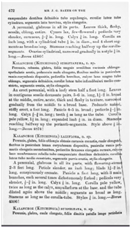 Kalanchoe(Kitchingia) laxiflora原記載.png